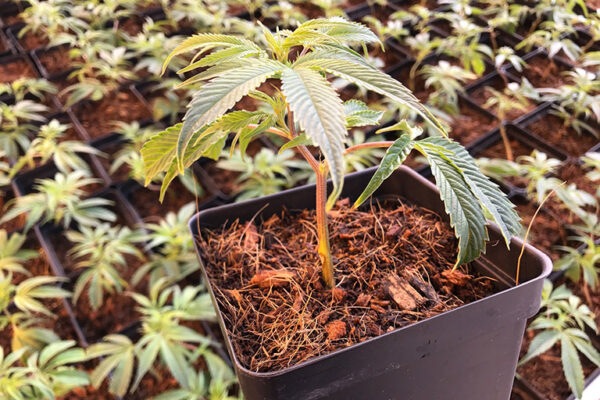 upclose baby cannabis plants in square pot