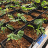 Multiple baby cannabis plants in square pots