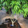 Large cannabis plants in pots on wheels using Riococo Coir Mix for grow medium