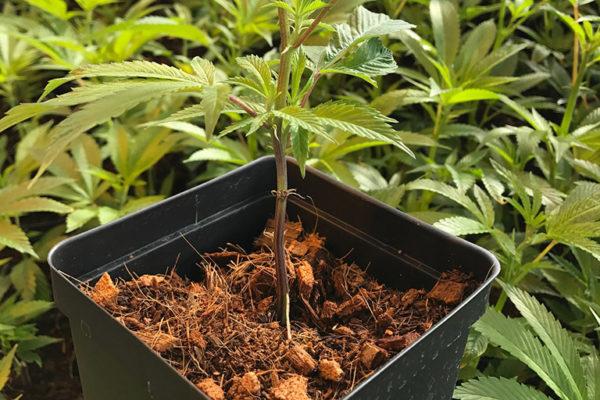 Multiple Baby Cannabis Plants using RIOCOCO PCM Coir Mix