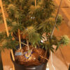 Large Cannabis Plants inside RIOCOCO Natural PCM Coir Mix in side planter