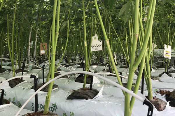 upclose of cannabis plants & hydroponic lines watering them in RIOCOCO PCM Starter Blocks