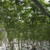 Cannabis Plants growing in a group in RIOCOCO PCM CTBs