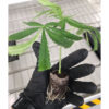 Hand Holding a Baby cannabis plant showing roots inside Riococo Propagation plug