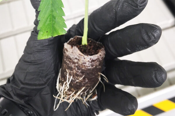 Close up of Hand Holding a Baby cannabis plant showing roots inside Riococo Propagation plug