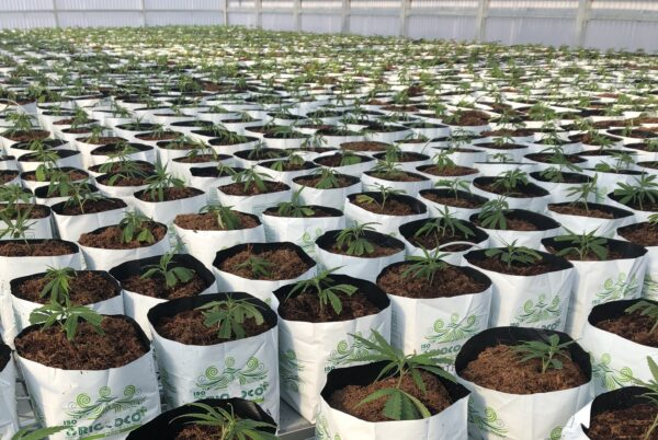 Cannabis plants growing in RIOCOCO PCM OTBs (Open Top Bags) in cultivation facility