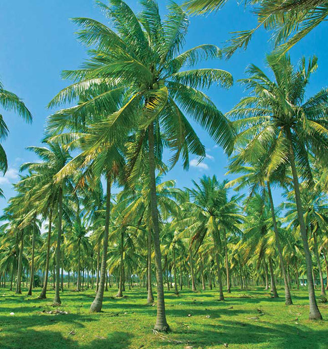 Forest of Palm trees in Sri Lanka on RIOCOCO site