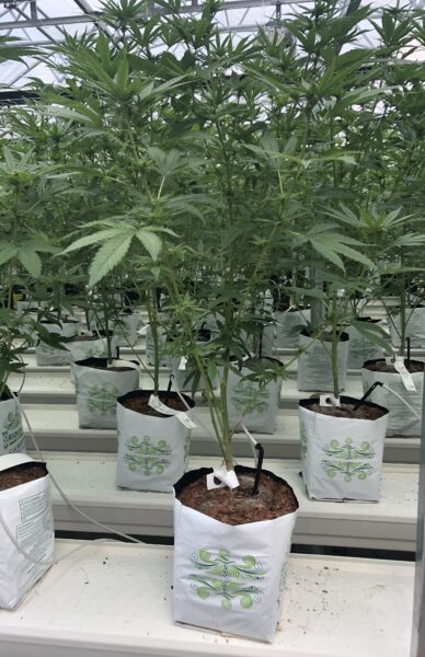 Multiple Cannabis plants in riococo PCM Open Top Bags of coco coir