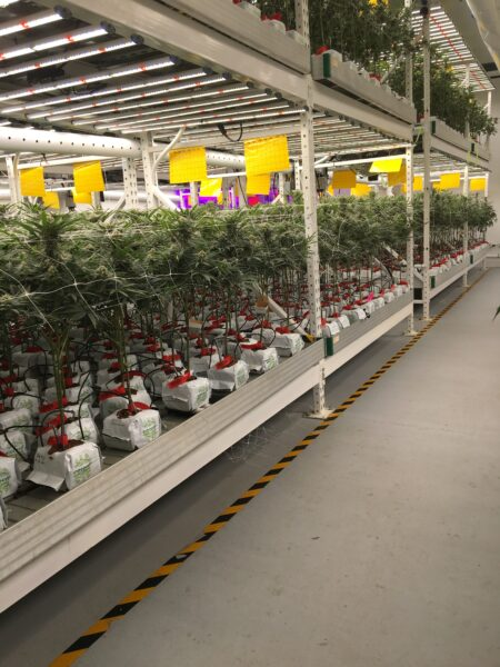 Cultivation facility with many Cannabis plants in RIOCOCO PCM CTBs (Close Top Bags)