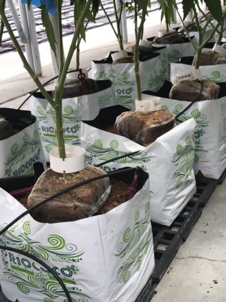 Multiple Cannabis plants in riococo PCM starter blocks inside PCM Open Top Bags of coco coir