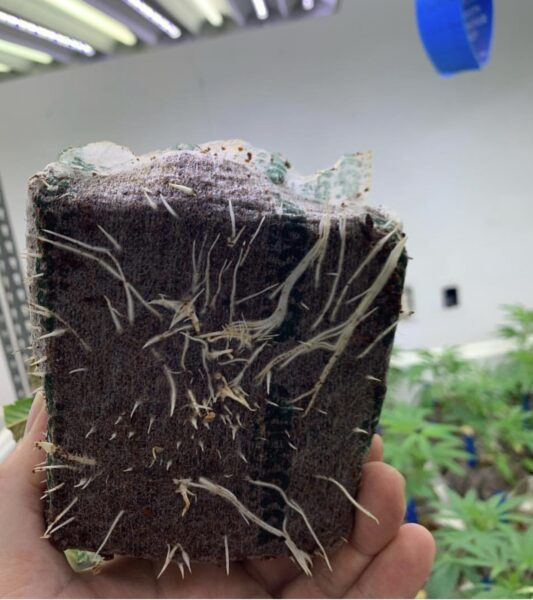 Hand holding a cannabis plant grown in a Riococo PCM Starter Block showing bottom of roots