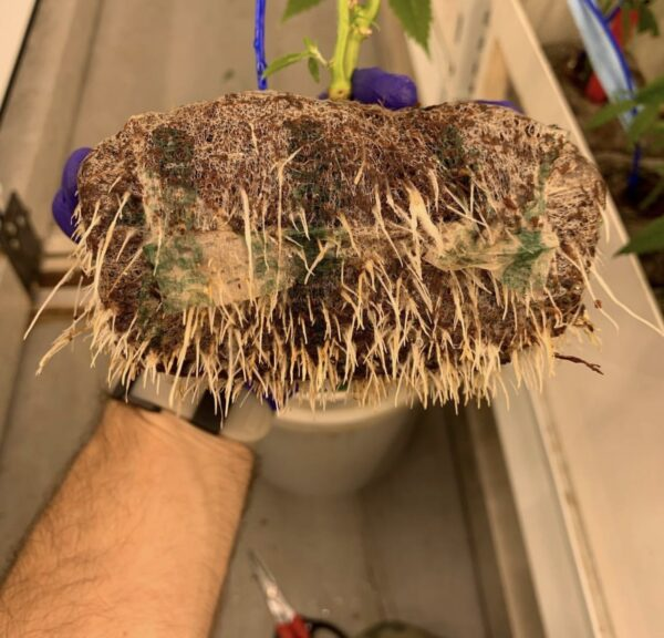 Roots of a cannabis plant grown in a Riococo PCM Starter Blocks