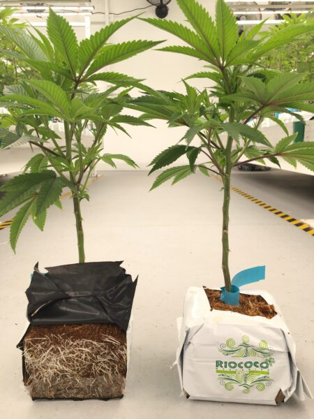 Two Cannabis Plants in their separate Riococo PCM OTBs (Open Top Bags), 1 Bag cut open to show roots