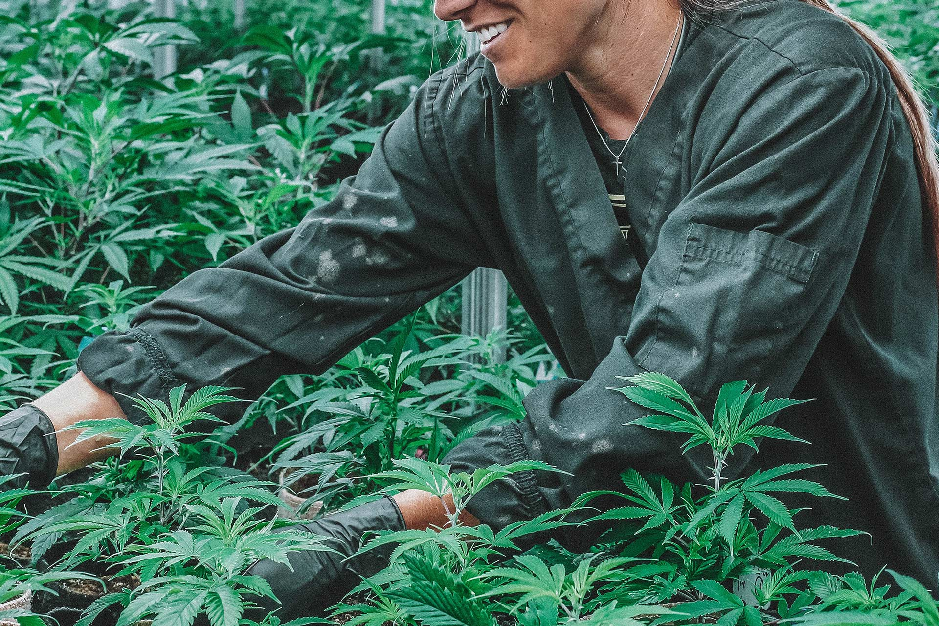 person working in cannabis greenhouse